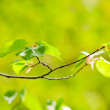 Spring tree leaves — Stock Photo