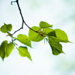 Fresh green leaves — Stock Photo #4619021