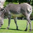 Zebra eating green grass — Stock Photo