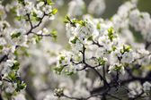 Background of spring tree — Stock Photo