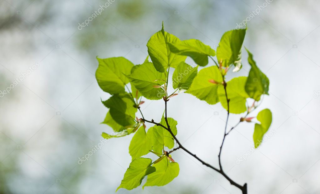 Closeup of green linden leaves, brightly backlit against  sky — Stock Photo #4619002