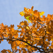 Stock Photo: Autumnal leaves of oak