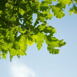 Stock Photo: Oak leaves, brightly backlit against sky