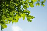 Oak leaves, brightly backlit against sky — Stock Photo