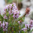 Heather (Calluna) — Stock Photo