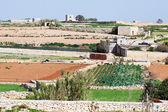 Plant at typical Malta farmland — Stock Photo