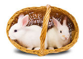 Two white rabbits in basket — Stock Photo