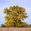 Autumn landscape with big oak — Stock Photo #5151126