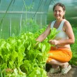 Woman is picking lettuce — Stock Photo
