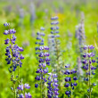 Plant of violet wild lupine — Stock Photo