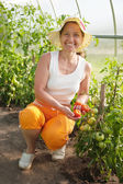 Woman is picking of tomato — Stock Photo
