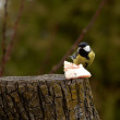 Great Tit - Parus major - Stock Photo
