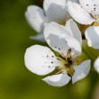 Blooming pear tree - Stock Photo