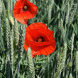 Field of wheat and red poppies — Stock Photo