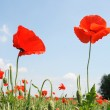 Red poppy on the background cloudy sky — Stock Photo