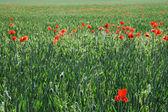 Pole pszenicy i czerwone maki — Zdjęcie stockowe