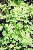 Texture green young Celandine — Stock Photo