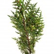 Green arborvitae branch - Stock Photo