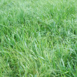Texture green young grass — Foto Stock