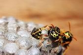 Vespiary on the wall. (Hymenoptera) — Stock Photo