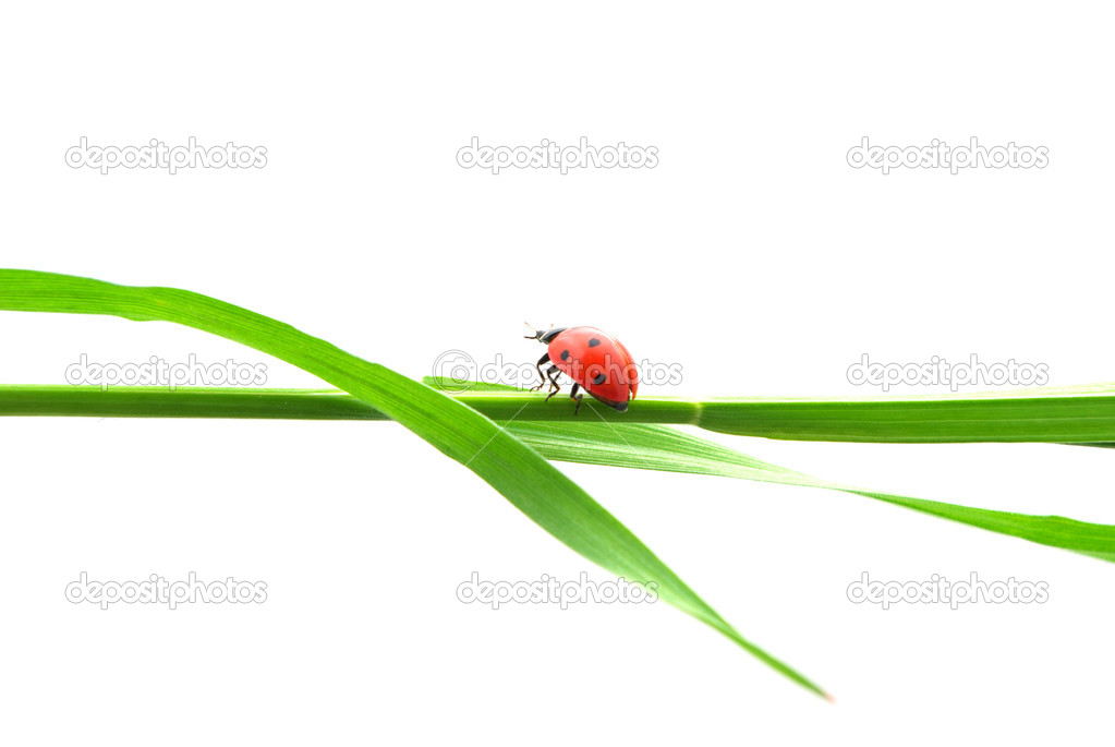 Isolated ladybug. Element og design. — Stock Photo #2843080