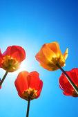 Tulipany i błękitne niebo — Zdjęcie stockowe