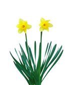 Two narcissuses — Stock Photo