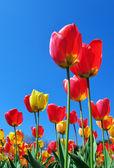 Tulips and sky — Stock Photo