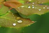 Rose leaf in dew — Stock Photo