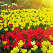 Garden of tulips — Stock Photo