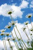 Daisywheels on sky background — Stock Photo