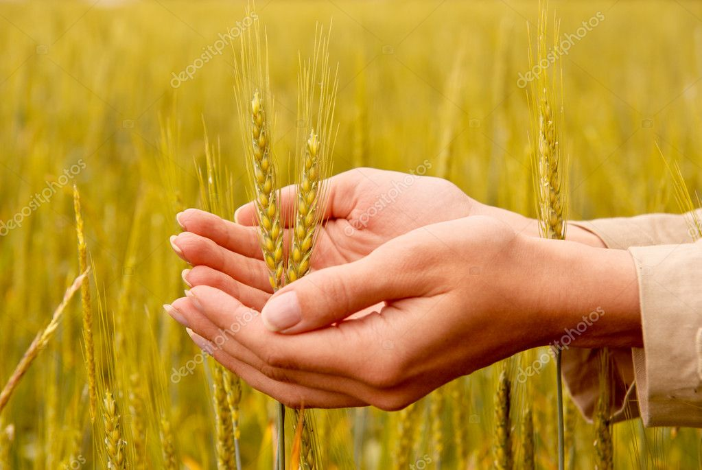 Spikelets and the woman palms. Element of design. — Stock Photo #3419109