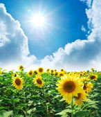 Meadow of sunflowers — Stock Photo