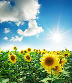 Meadow of sunflowers — Stock Photo