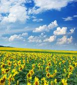 Big field of sunflowers — Stock Photo