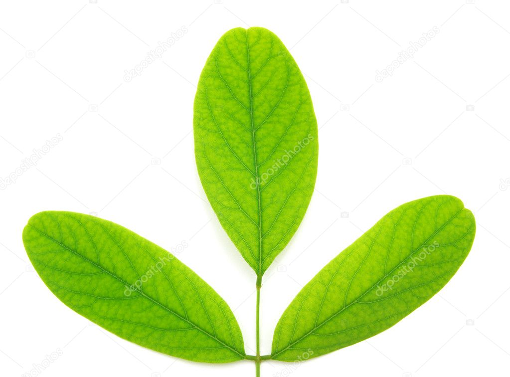 Isolated green leaf of tree. Element of design.  — Stock Photo #3623438