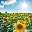 Big meadow of sunflowers — Stock Photo #3743782