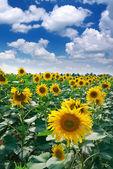 Big meadow of sunflowers — Stock Photo