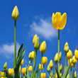 Tulips on sky - Photo