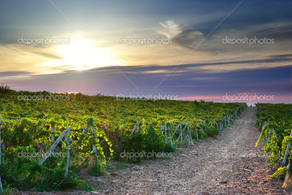Landscape of vineyard. Nature composition. — Stock Photo #3840315