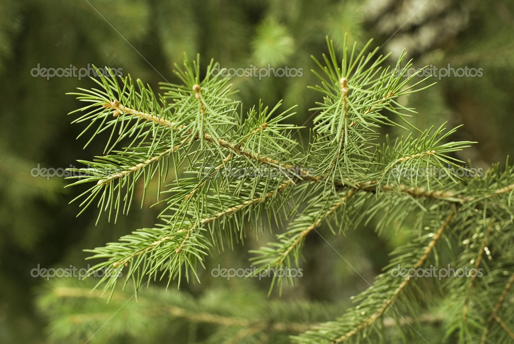 Brightly green prickly branches of a fur-tree or pine  Stok fotoraf #2777087