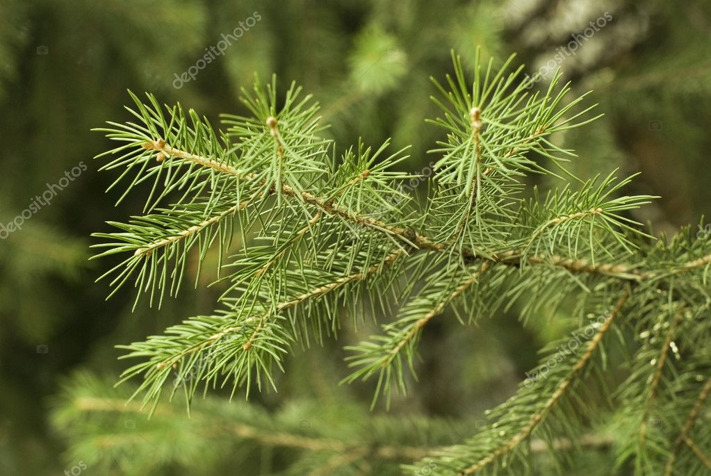 Brightly green prickly branches of a fur-tree or pine — Photo #2777087