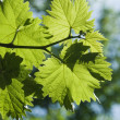 Grape leaves — Stock Photo #3102533