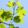 Grape leaves — Stock Photo #3102582