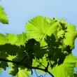 Grape leaves — Stock Photo