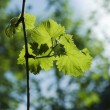 Grape leaves — Stock Photo #3102675