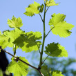 Grape leaves — Stock Photo #3102692