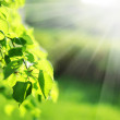 Green leaves with sun ray — Stok fotoğraf