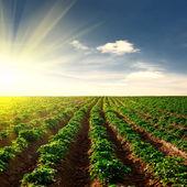 Aardappel veld op een zonsondergang — Stockfoto
