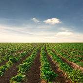 Potato field on a sunset under blue sky — Stock Photo